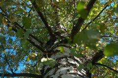 Crohn et branches de bouleau Photo stock
