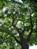 Crohn of a large tree. Photo of the Travel to Moscow series. Botanical Garden `Aptekarsky Ogorod`. Summer 2016 Royalty Free Stock Photos