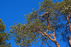 Crohn pine on a background of blue sky. Spring comes Stock Photography