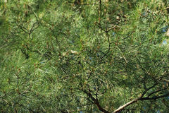 Crohn pine. Lush green crown  old pine Stock Image