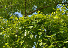 Crohn poplar. Background. Dense green foliage of poplar, illuminated by the sun. Mid of summer Royalty Free Stock Images