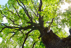 Crohn's great oak. Bottom view Royalty Free Stock Photography