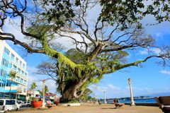 Crohn's huge tropical tree. Narra tree. Tropical Royalty Free Stock Image