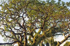 Crohn's huge tropical tree. Narra tree. Tropical Royalty Free Stock Photos
