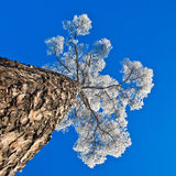 Crohn's pine against the sky. Crohn pine in hoarfrost on a background of blue sky Stock Photo