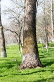 Crohn`s tree in the park in spring.  Royalty Free Stock Photography