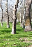 Crohn`s tree in the park in spring.  Stock Photo