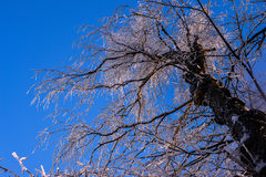 Crohn's tree in the snow against the blue winter sky.  Stock Photos