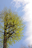 Crohn's tree in the spring. Crohn's maple tree in the spring against the sky royalty free stock image