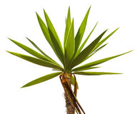 Crohn's tropical palm trees. On a white background Royalty Free Stock Photography