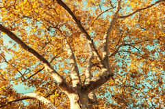Crohn tree in the foreground. The branches of the crown of a tree with leaves of different colors Stock Photography