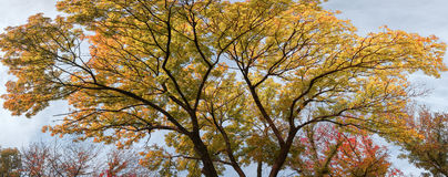 Crohn tree in the foreground. The branches of the crown of a tree with leaves of different colors Stock Photos