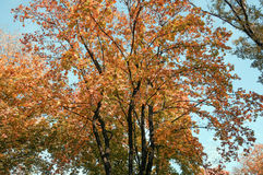 Crohn tree in the foreground. The branches of the crown of a tree with leaves of different colors Stock Photo