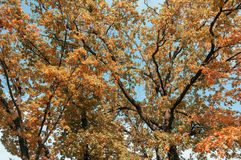 Crohn tree in the foreground. The branches of the crown of a tree with leaves of different colors Stock Images
