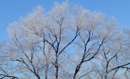 Crohn tree in frost, , background. Background. Broad crown of the tree in hoarfrost against the blue sky. Early winter Royalty Free Stock Photo