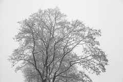 Crohn tree in winter. Bare branches, tree silhouette. Black-and-white photograph. Graphic image Royalty Free Stock Images