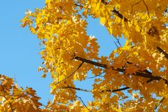 Crohn tree with yellow maple leaves against the blue sky.  Stock Photo