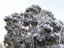 Crohn wiąz w śniegu Zdjęcie Stock