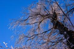 Crohn& x27; árbol de s en la nieve contra el cielo azul del invierno Fotos de archivo