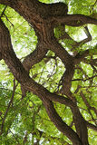 Crohns alter Baum Lizenzfreies Stockfoto
