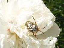 Croisé d'araignée Images stock