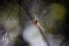 Croisé d'araignée sur la toile d'araignée dans la forêt d'été images libres de droits