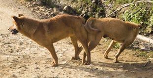 Croisement de accouplement de chien masculin et femelle Image libre de droits