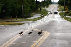 Croisement de canard Images stock