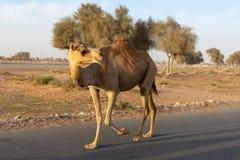 Croisement de chameau : Prenez garde des chameaux lâches près de la voie de course de chameau comme elles trottent en les voiture photo stock