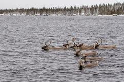 Croisement de l'eau par le caribou de région boisée Photos libres de droits