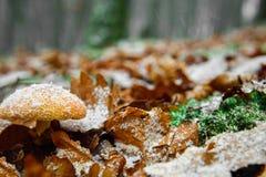 Croisement de la chute et de l'hiver, le champignon sous la première neige Photographie stock