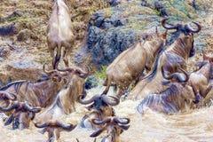 croisement kenya Stationnement national Le gnou et le Cr de z?bres images libres de droits