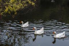Croisière dans l'étang dans la grande oie blanche Photos stock