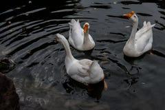 Croisière dans l'étang dans la grande oie blanche Photo libre de droits