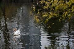 Croisière dans l'étang dans la grande oie blanche Images libres de droits