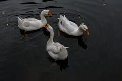 Croisière dans l'étang dans la grande oie blanche Images stock