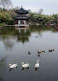 Croisière dans l'étang dans la grande oie blanche Photos libres de droits