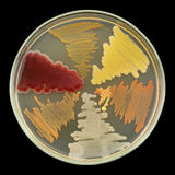 Croissance bactérienne de cultures sur le plat de plat de Pétri d'isolement sur le noir Image stock