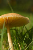 Croissance de champignons d'herbe de jardin Image stock