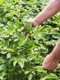 Croissance de contrôle d'agriculteur des plantes de pomme de terre dans le potager, production d'aliment biologique du cru photographie stock libre de droits