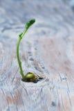 Croissance de plantes de pois Image libre de droits
