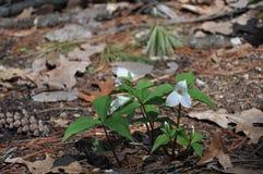 Croissance de Trillium de région boisée première image libre de droits