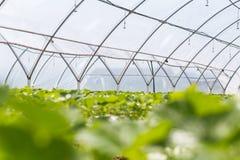 Croissance industrielle des fraises, rangée de fraise de culture hydroponique dedans Images stock