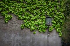 Croissance naturelle de lierre par le mur vert des feuilles Seul mur proche de séjour classique de lanterne Photographie stock
