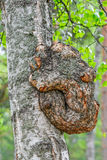 Croissance sur un tronc d'arbre de bouleau Photos stock
