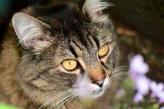 Croix tigrée de chat de Maine Coon Image stock