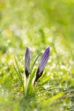 Crokus in he grass. The advent of spring. Crocuses sticking out from the grass. Slowly the dew evaporates in the sunshine, it is a beautiful spring day Stock Images