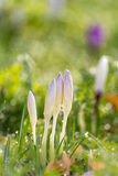Crokus in he grass. The advent of spring. Crocuses sticking out from the grass. Slowly the dew evaporates in the sunshine, it is a beautiful spring day Stock Photography