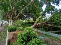Crollo dell'albero dopo il tifone fotografie stock