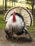 Crollwitzer Turkiet på den Prinknash fågeln och hjortar parkerar Arkivbild